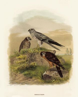 Harrier, Montagus (Ash Coloured Harrier) by O V Riesenthal
